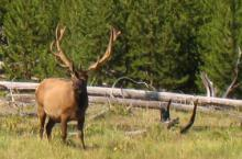 Island Park wildlife - elk in velvet.